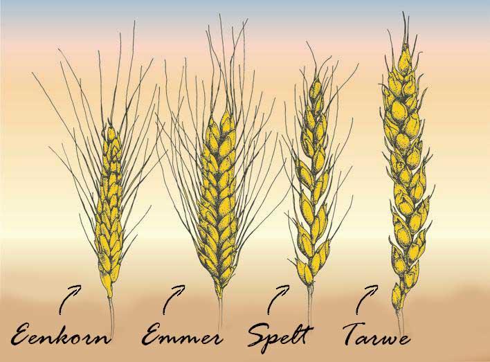 spelt vs tarwe