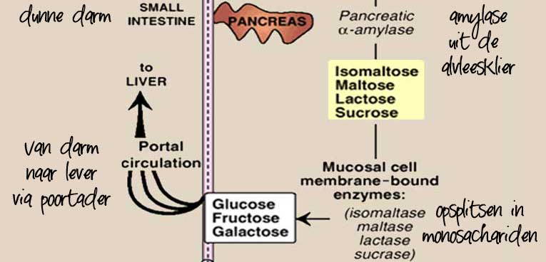 hoe worden koolhydraten verteerd