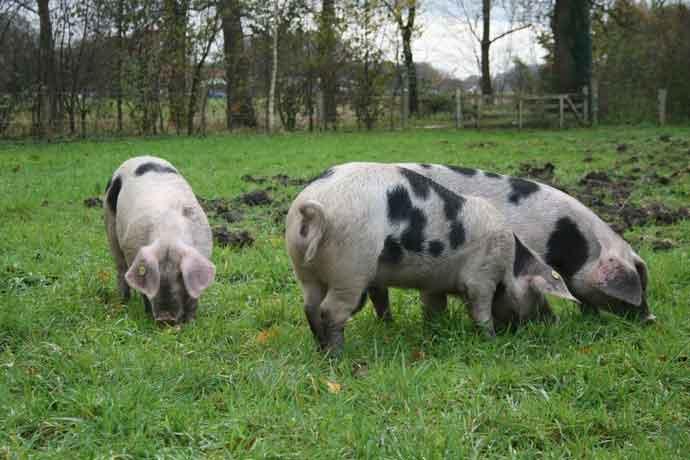 Buitengewone varkens