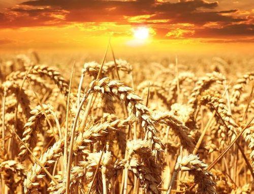 Onbekende graansoorten